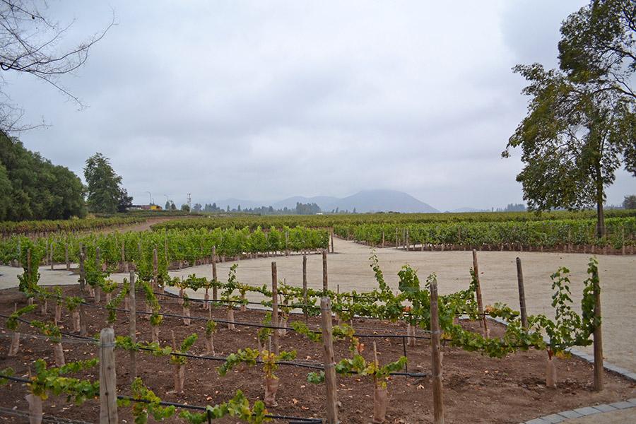 conchaytoro_plantação